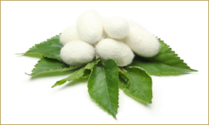 Mulberry silk cocoons