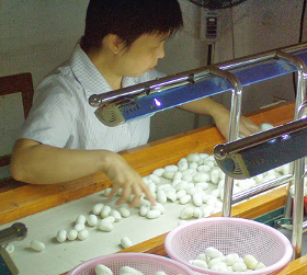Sorting of silk cocoons during the silk production process